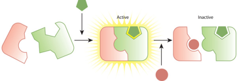 zigzag enzyme